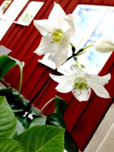 Tills vidare får drömmen om en stor trägård full av växter inskränka sig till vackra blommor på den minimala plätten utanför huset.